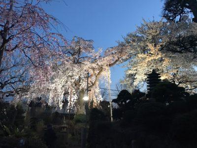 平成29年 しだれ桜開花状況