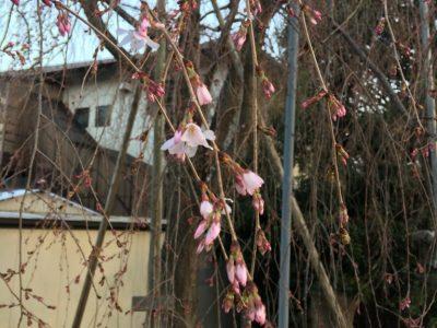平成30年 しだれ桜開花状況