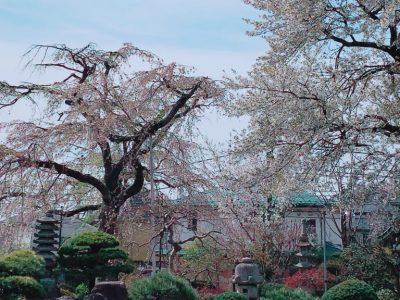 葉桜となってまいりました