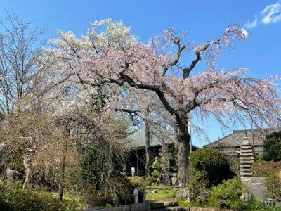 しだれ桜のライトアップをはじめました